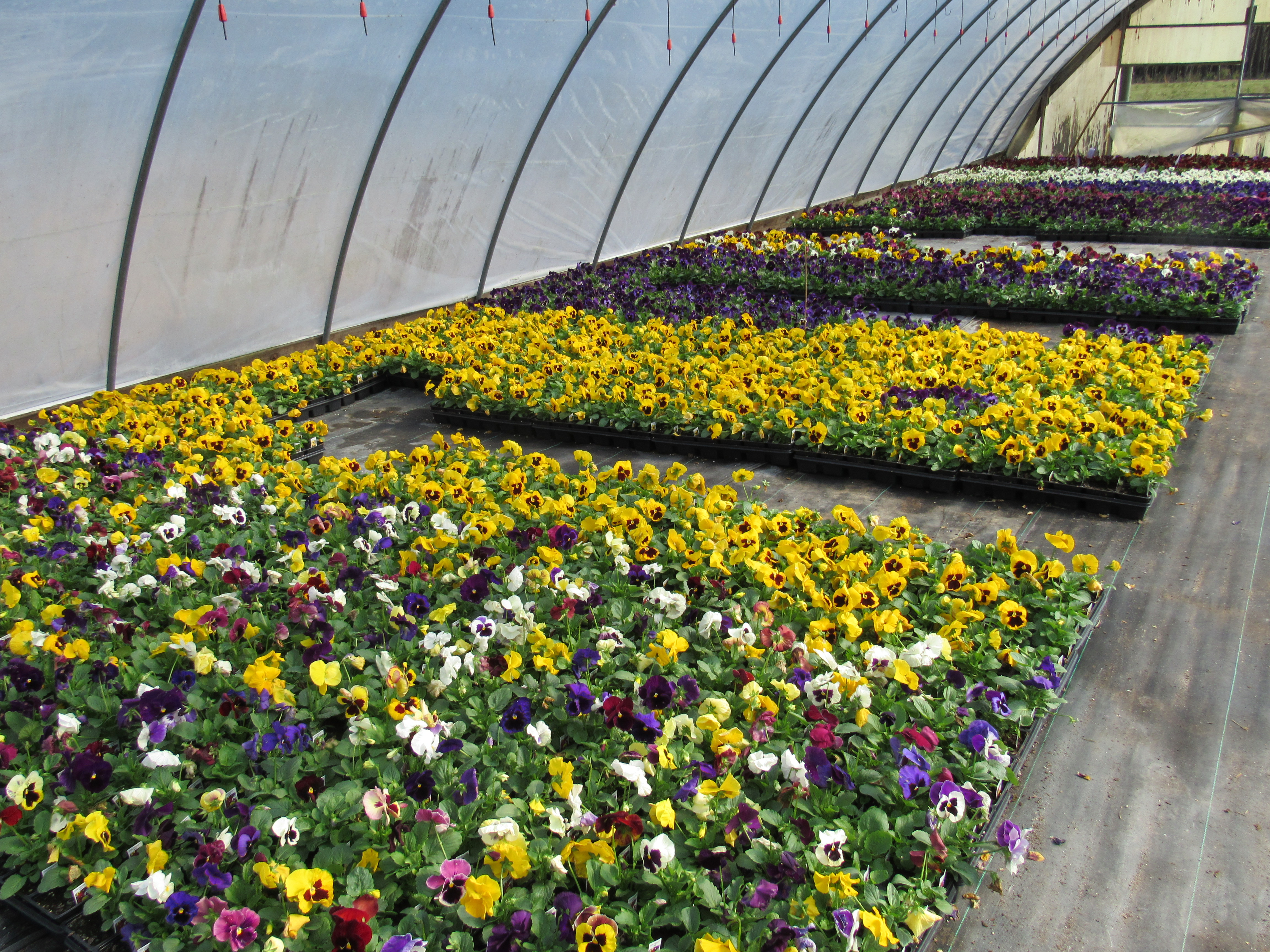 Plenty of  Pansies