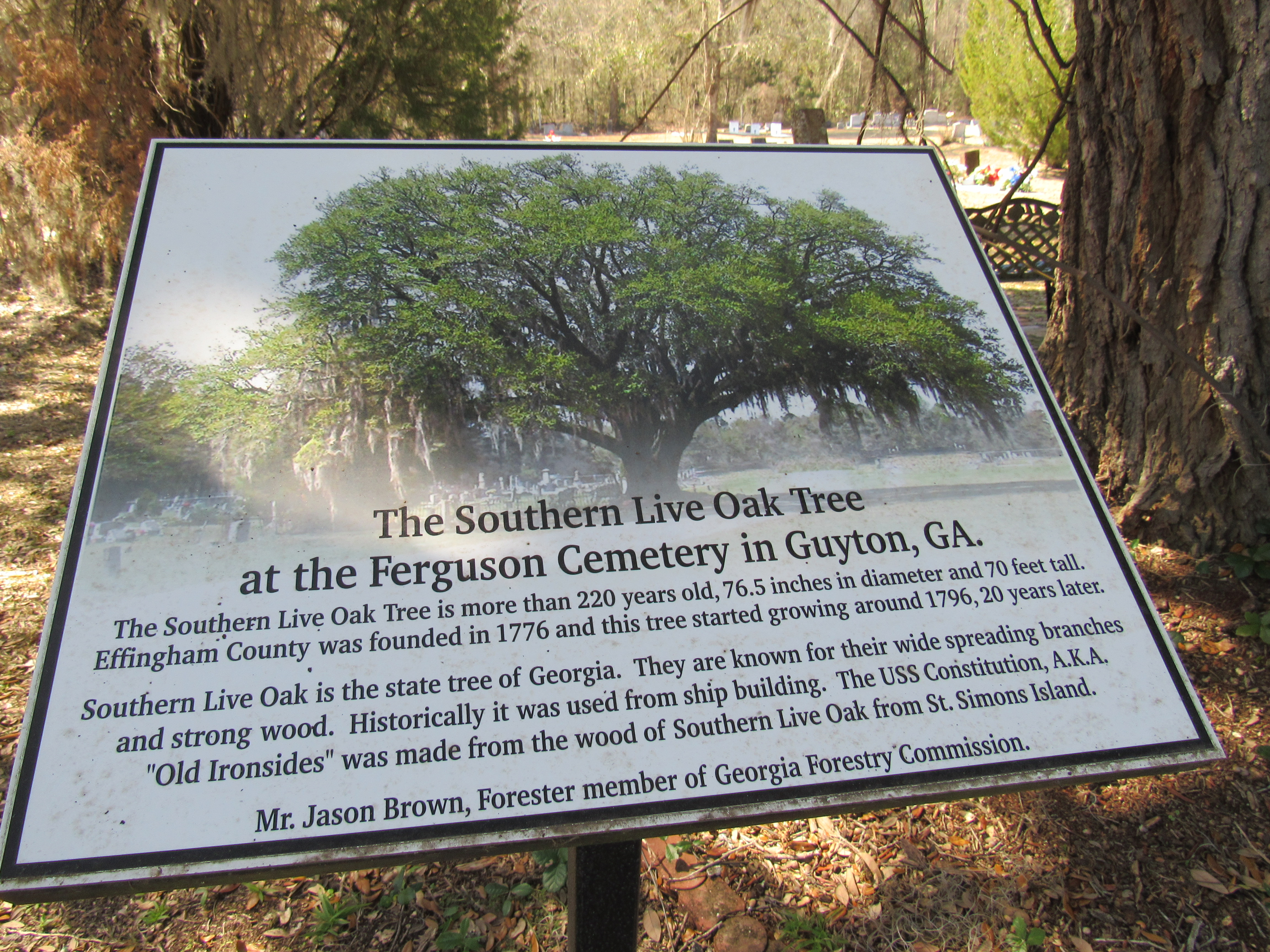 Southern Live Oak Tree-220 Years Old —